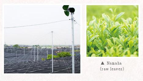 Quy trình sản xuất matcha trà xanh nhật bản